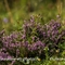Callune commune ( Calluna vulgaris - FAR3)