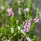 Callune commune ( Calluna vulgaris - FAR5)