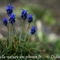 Muscari Négligé ( Muscari neglectum - DF136)