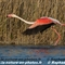 Flamant Rose (F206)